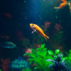 goldfish-animal-fish-pet-72288-large